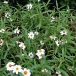 Narrow Leaf White Star Zinnias