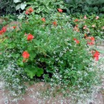 Red Geraniums and Diamond Frost Euphorbia