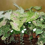 Moonlight and Miss Muffet Caladiums; Cuban Oregano; Variegated Fig Ivy