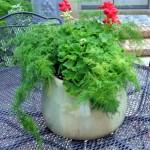 Geranium and Plumosa