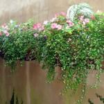 3 window/wall boxes of Impatiens, Torenia, Caladiums, Angel Wire Vine