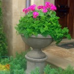 Hot Pink Geraniums and Curly Parsley